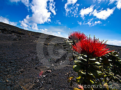 Flowers in a Lava Desert