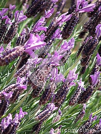 Flowers - lavender