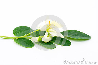 Flowers and Leaves of Moringa