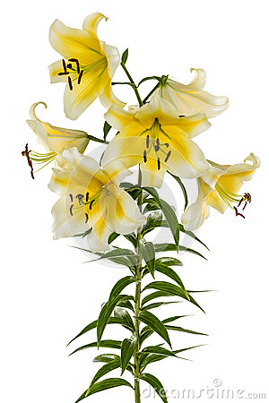 Flowers lily, lat. Lilium Oriental Hybrids