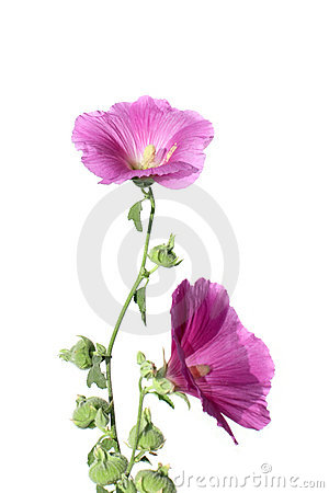 Flowers of mallow