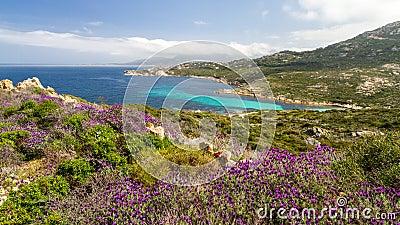Flowers in the maquis at La Revellata near Calvi in Corsica