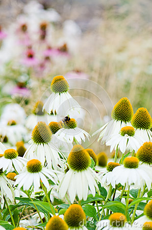 Flowers medicinal herb echinacea purpurea or coneflower