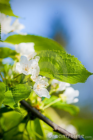 Free Flowers Of Apple Tree Royalty Free Stock Image - 19756066