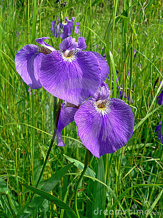 Free Flowers Of Iris Stock Photography - 2574202