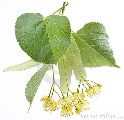 Free Flowers Of Linden-tree Stock Images - 9806854