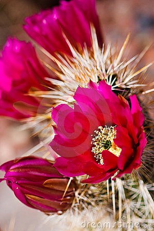 Free Flowers Of The Engelmann S Hedgehog Cactus Royalty Free Stock Images - 14167999