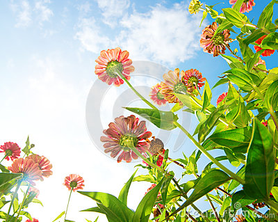 Flowers Over Blue Sky. Zinnia flower