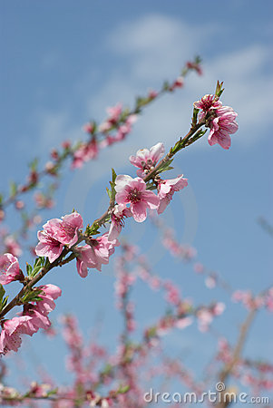 Flowers Of Peach