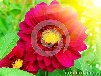 Flowers  peonies