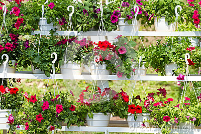 Flowers of petunia