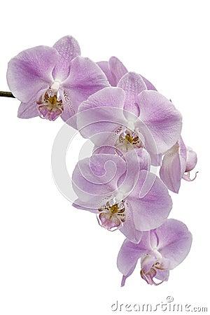 Flowers of a Phalaenopsis orchid hybrid
