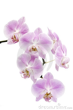 Flowers of a Phalaenopsis orchid hybrid