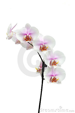 Flowers of a Phalaenopsis orchid hybrid vertical