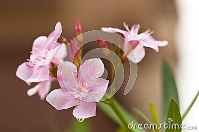 Flowers (Pink Nerium Oleander)