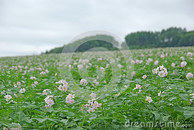 Flowers of potatoes
