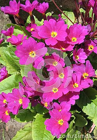 Flowers primrose Julia (Rrimula juliae)