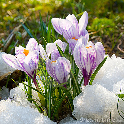 Free Flowers Purple Crocus Royalty Free Stock Photos - 13111088