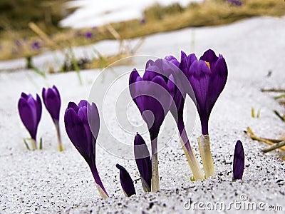 Flowers purple crocus