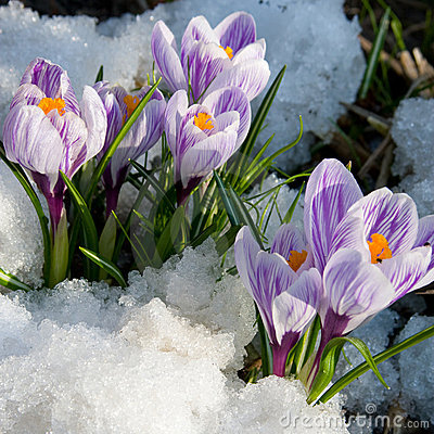 Free Flowers Purple Crocus In The Snow Stock Photos - 12817823