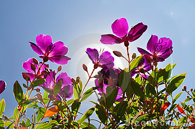 Flowers-purple tibouchina with sun backlighting