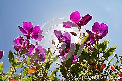 Flowers-purple tibouchina with sun backlighting