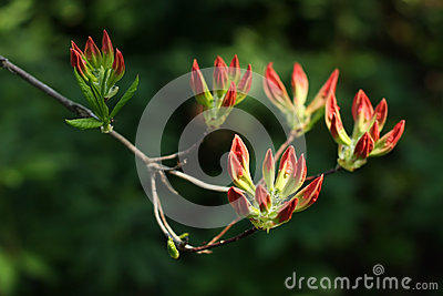 Flowers of red rhododendron