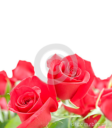 Flowers of red roses on white background
