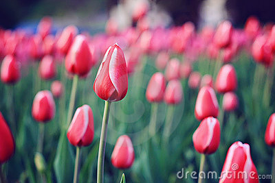 Flowers red tulips in field