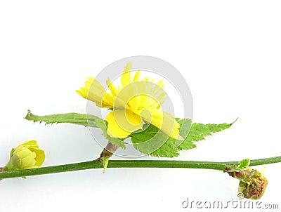 Flowers of the shrub Kerria