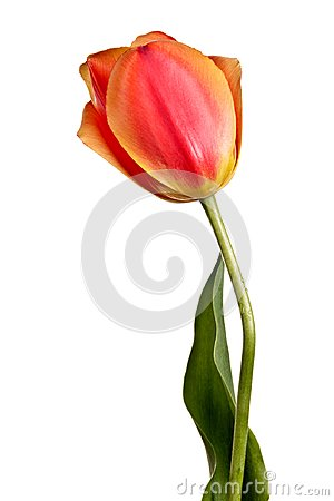 Free Flowers, Single Tulip Isolated On A White Royalty Free Stock Image - 115957936