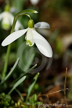 Flowers of snowdrop