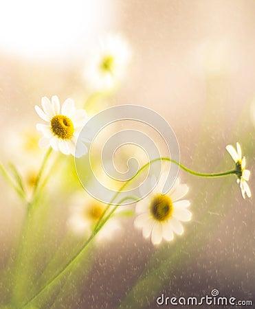 Flowers soft beauty Stock Photo