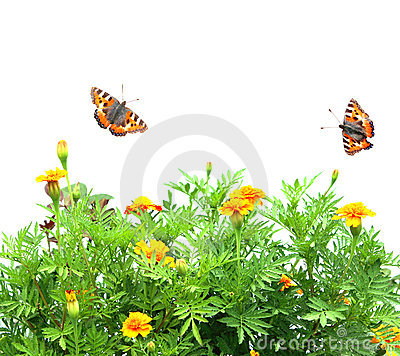 Flowers Tagetes patula and butterflys