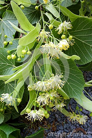 Flowers of the Tilia or Linden tree