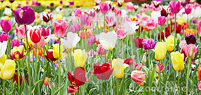 Flowers and tulips in panorama format