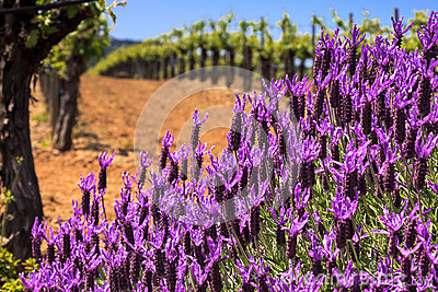 Flowers and Vineyards