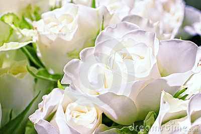 Flowers of white roses