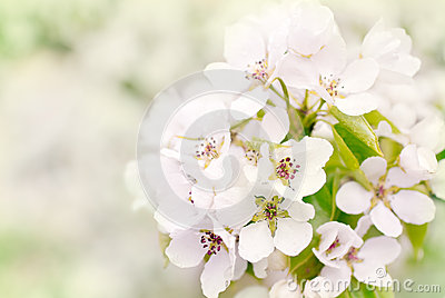 Flowers of wild apple