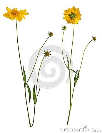 Flowers of yellow daisy-gerbera