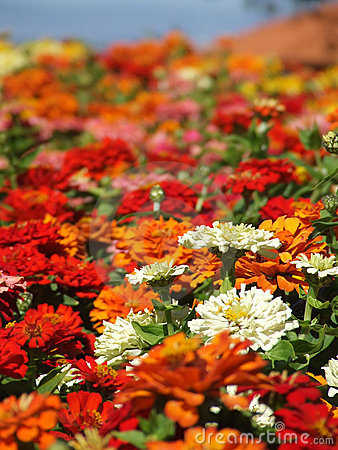 Flowers - Zinnias