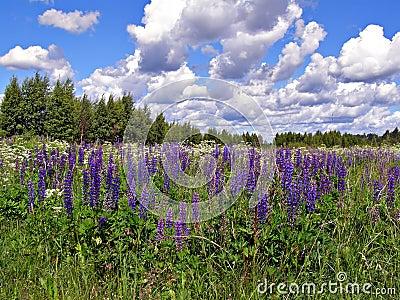 Flowerses lupines in field