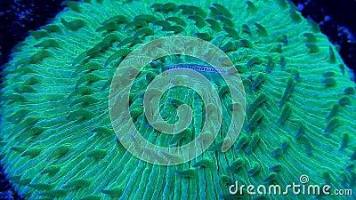 Green plate coral flowing underwater. Flowing motion of green plate coral tentacles underwater stock video
