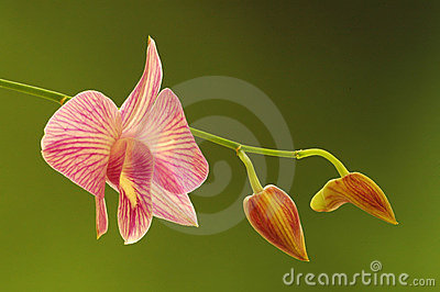Flowing orchid