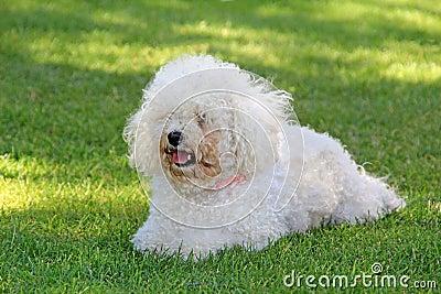 Fluffy bichon frise dog