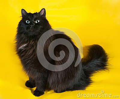 Fluffy black cat with green eyes sitting on yellow
