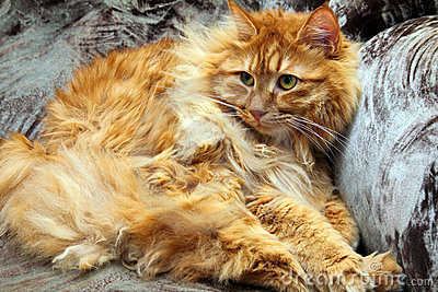 Fluffy bobtail cat
