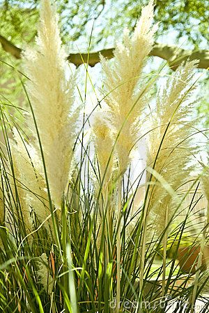 Fluffy bog reed tufts