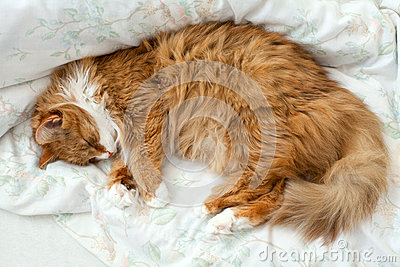 Fluffy cat in bed
