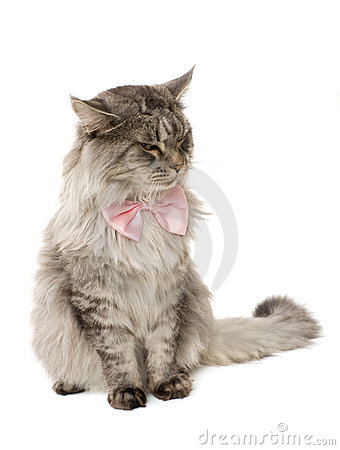 Fluffy cat with a bow